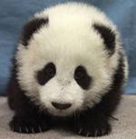 Le panda géant Panda2